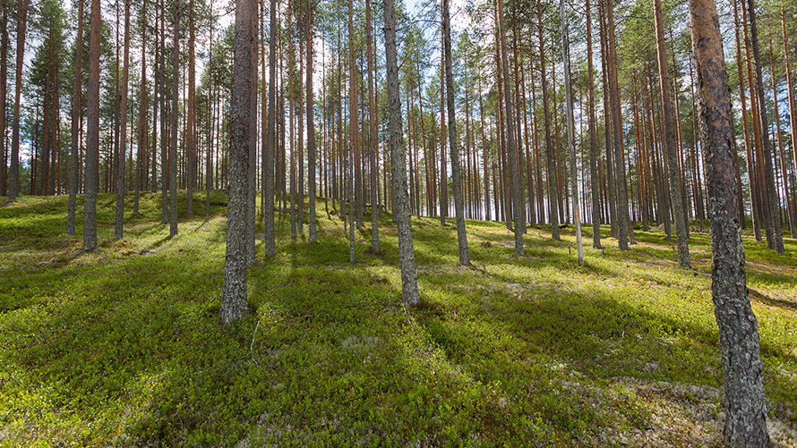 Finland's fast-growing forests mitigate climate change