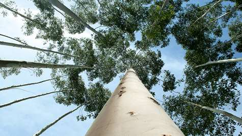 Long-term commitment to eucalyptus in Uruguay